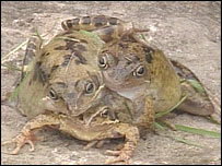 Three-headed frog (Credit: Sebastien Paquet - via Flickr)