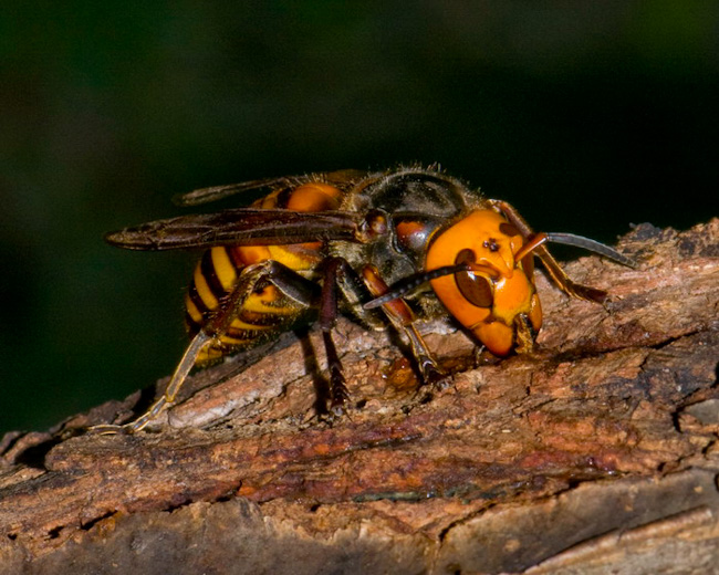 Giant African Wasp http://daddu.net/macro-photography-the-worlds-deadliest-insects/