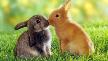 HD-Cute-Animals-rabbits-kissing