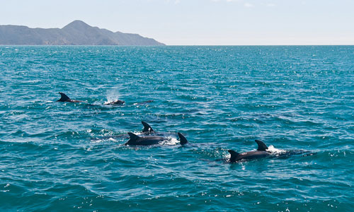 New Zealand - Bottlenose Dolphins