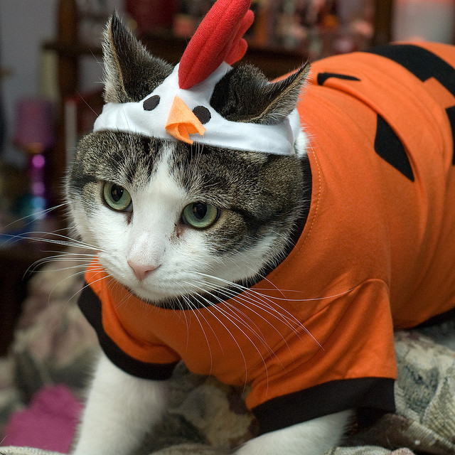 Cat in Pumpkin and Chicken Costumes
