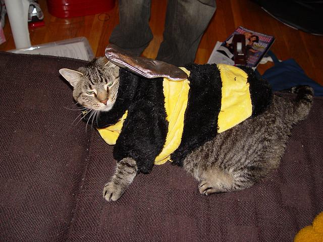 Fat Cat in Bee Costume