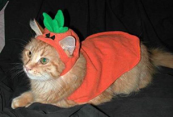 Cat in Pumpkin Costume