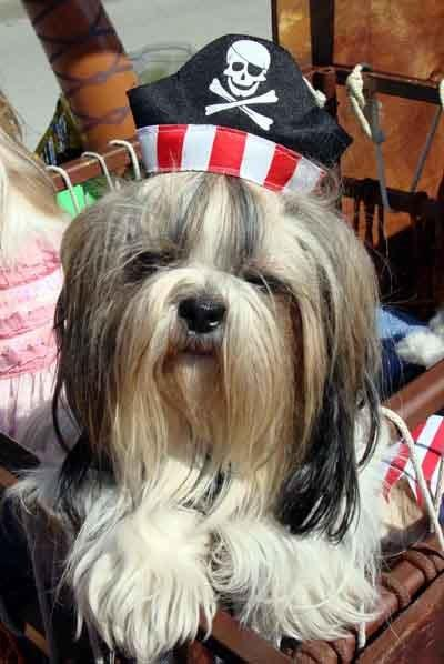 Dog in Pirate Costume