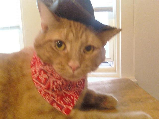 Cat in Cowboy Costume