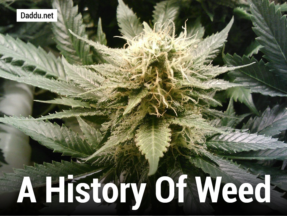 the history of marijuana cultivation in the us and its effects Brief history of marijuana in us ^ the cultivation of cannabis sativa, otherwise known as marijuana, has been documented in the united states since the early 17th century, when settlers brought the plant to jamestown, virginia to produce hemp.